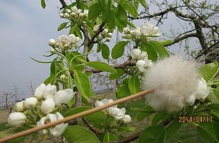 洋梨の授粉