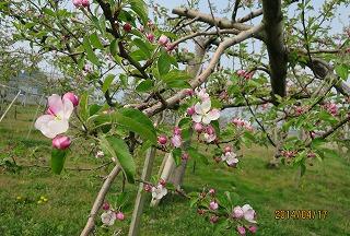 リンゴも開花