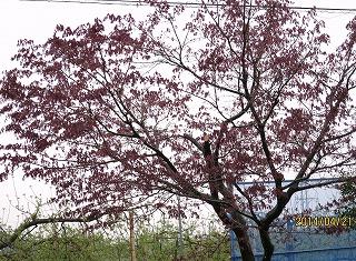 紅葉の芽伸びる