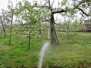 りんごに有機液肥