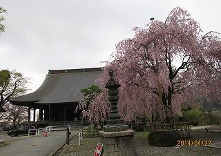 聞名寺のしだれ桜