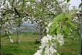 洋梨と王林の花