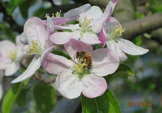 ピンクの花と蜂君