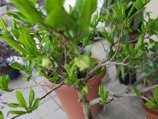 老鴉柿の花