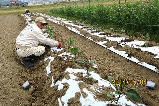 藤瀬さん、茄子定植