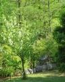 ハンカチの木・2