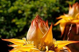 雲南省の植物チョウキンレン