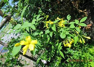 ソケイの花
