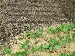 ラデッシュ種蒔き