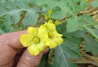 西瓜の花粉