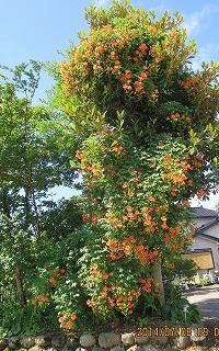 ノーゼンkヅラの木
