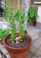小菊を植える