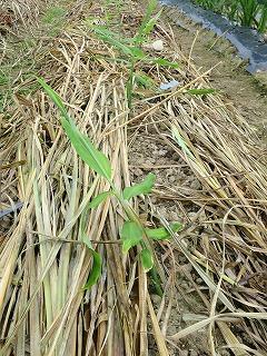 生姜敷き草採用