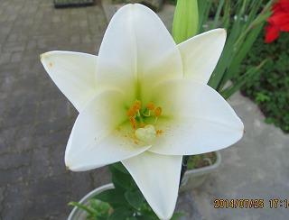 百合・優雅の花
