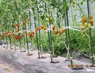 トマト作り名人S林さんのトマト