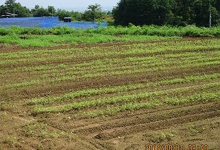 蕎麦の生育ぶり