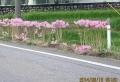 路傍の夏水仙