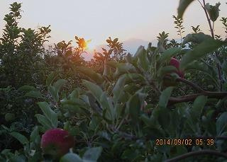 りんご園に日は昇る