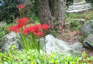 庭の彼岸花
