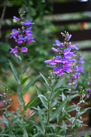 penstemon_b201401.jpg