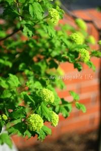 viburnum10.jpg