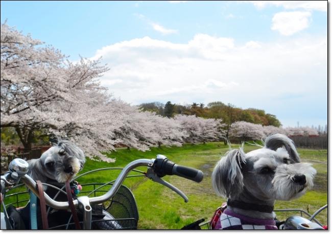 coconon_お花見サイクリング2