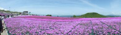 芝桜2014-1