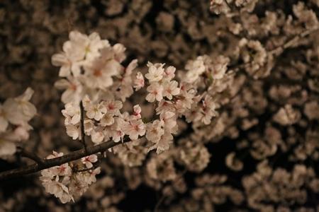 okazakisakura1404_03.jpg