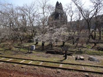 031梅が咲いています