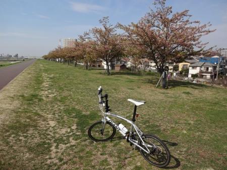 017第一目的地、市川橋の近くの河津桜、遅かった