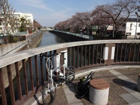 019市川真間川沿いの桜の名所です、咲き始めですね、もう少し行くと川沿いに屋台が・・・