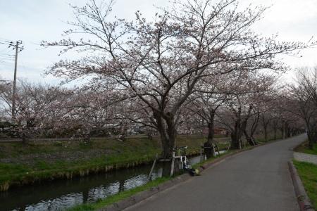 021海老川に戻りました、朝と違って半分以上咲きました