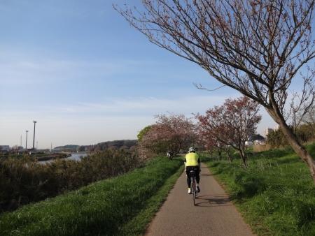 010新川沿いは桜は散っていました