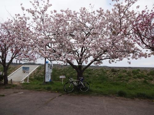 030涸沼南側の公園でトイレ休憩、牡丹桜?
