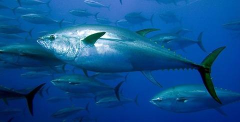 黒マグロの国内養殖が本格化、海洋水産部