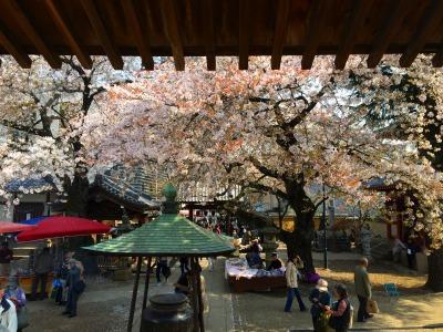 新井薬師の桜