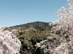 三輪山としだれ桜