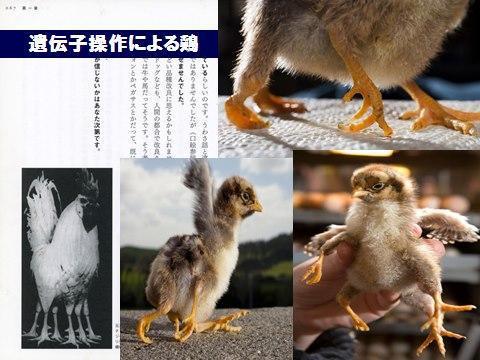 遺伝子操作鶏