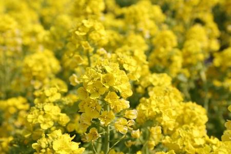 春を感じる黄色