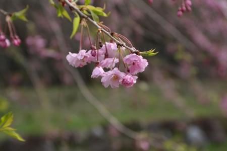 去年も桜が咲いてたっけ。
