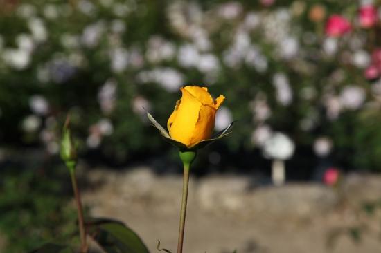 豊田市西山公園のバラ