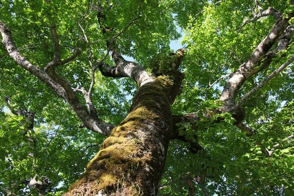 ブナの巨木。圧倒される