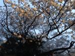 __ 2桜