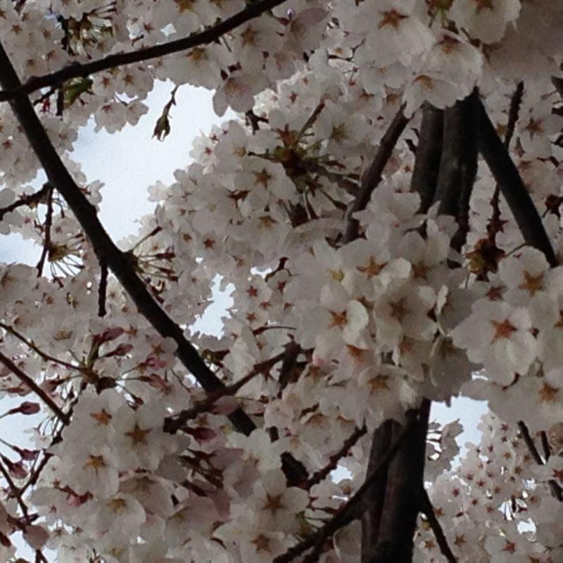 H26桜1