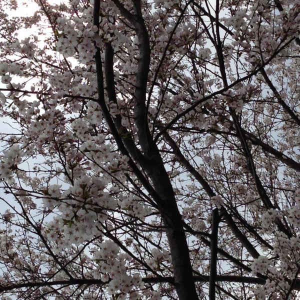 H26桜2