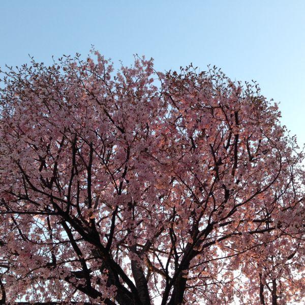H26桜3