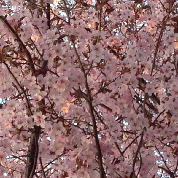 H26桜4