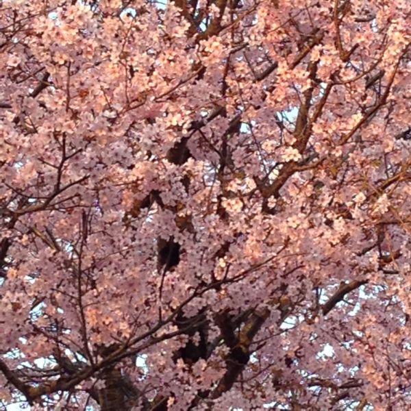 H26桜5