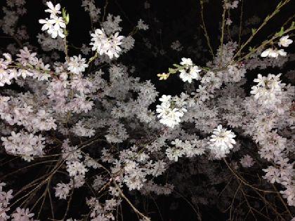 夜桜2014-5