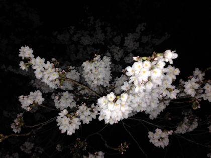夜桜2014-15